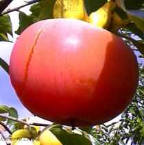 kaki, caqui, diospyros kaki, fruticultura ecológica, agricultura ecológica, areitz soroa