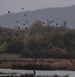 avefría, vanellus vanellus, birding, birdwatching, galdames, aves