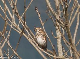 zorzal alirrojo, redwing, turdus iliacus, aves migratorias, birding, birdwatching, aves, galdames