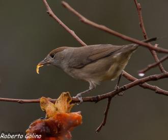 curruca capirotada, blackpap,  silvia atricapilla, diospyros kaki, birding, birdwatching, galdames, aves