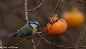 parus caeruleus, blue tit, herrerillo común, diospyros kaki, birding, birdwatching, galdames, aves