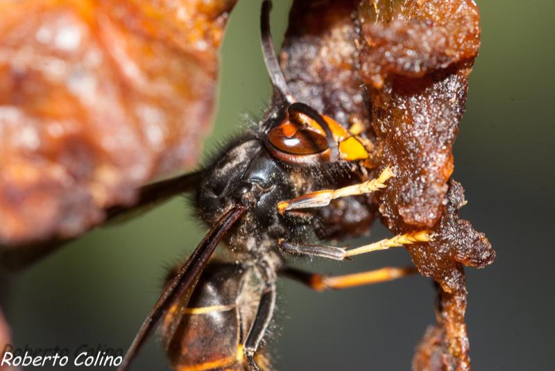 vespa vetulina, diospyros kaki, agricultura ecológica, organic, insecting