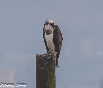 águila pescadora, osprey, pandion haliaetus, marismas de santoña, aves, birds, birdwatching