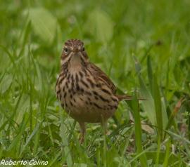 bisbita común, anthus pratensis, tawny pipit, aves, birds, birding, birdwatching