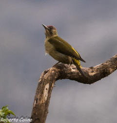 picus viridis, pito real, aves, birds, birding, birdwatching, green woodpecker