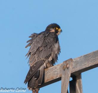 peregrine, falco peregrinus, birds, birdwatching, birding, marismas de Santoña, aves