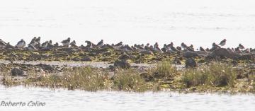 birds, birding, birdwatching, aves, limícolas, marismas de Santoña, Charadrius hiaticula, ringed plover