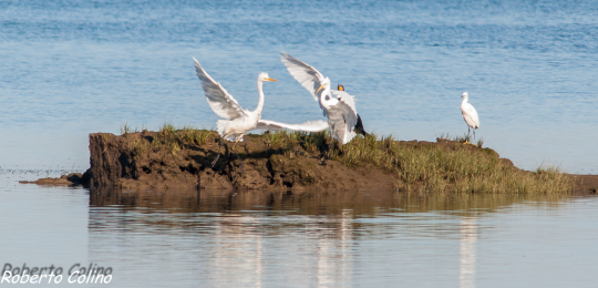 garceta grande, egretta alba, aves, birds, birdwatching, marismas de Santoña, great white egret