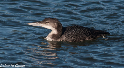 aves, birds, birdwatching, marismas de Santoña, gavia immer, colimbo grande, great northern diver, areitz soroa