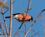 pyrrhula pyrrhula, bullfinch, camachuelo, birding, birdwatching, aves, birds, areitz soroa