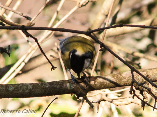 parus major, carbonero común, aves, birds, birding, birdwatching, great tit