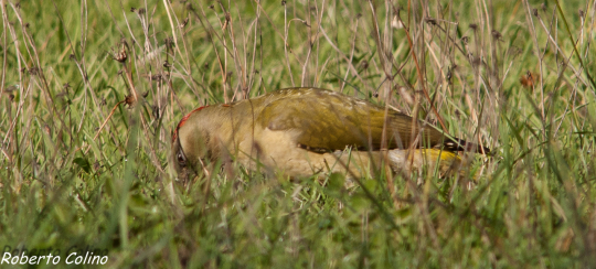 pito real, picus viridis, birds, birding, birdwatching, aves, green woodpecker