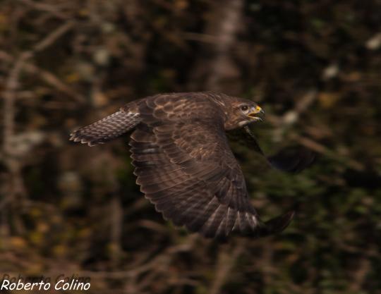 ratonero común, buteo buteo, bizzard, aves, birds, birding, birdwatching, areitzsoroa
