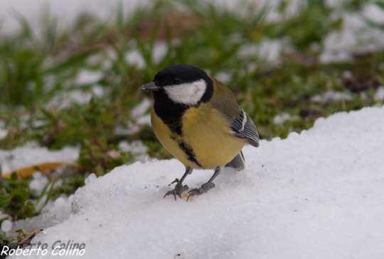 parus major, aves, birds, birding, birdwatching, carbonero común, areitz soroa