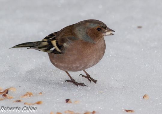 aves, birds, birding, birdwatching, pinzón vulgar, Fringilla coelebs, areitz soroa