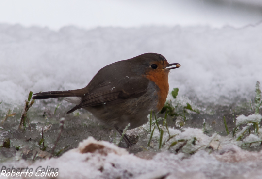 aves, birds, birding, birdwatching, Erithacus rubecula, petirrojo, areitz soroa