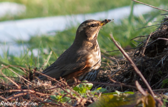 turdus iliacus, zorzal alirrojo,aves,birds, birdwatching, birding, areitz soroa