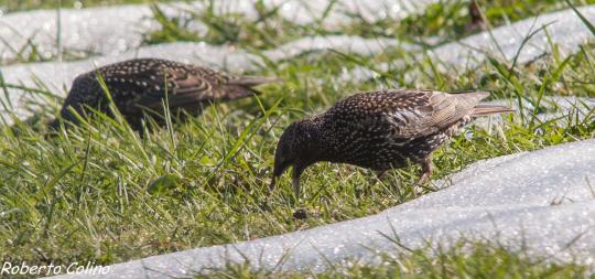aves, Sturnus vulgaris, birds, birdwatching, birding, areiotz soroa