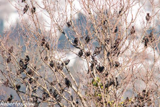 aves, birds, birdwatching, birding, sturnus vulgaris, estornino pinto, areitz soroa