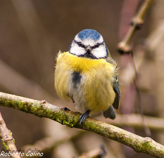 herrerillo común, parus caeruleus, blue tit, birds, birding, birdwatching, areitz soroa