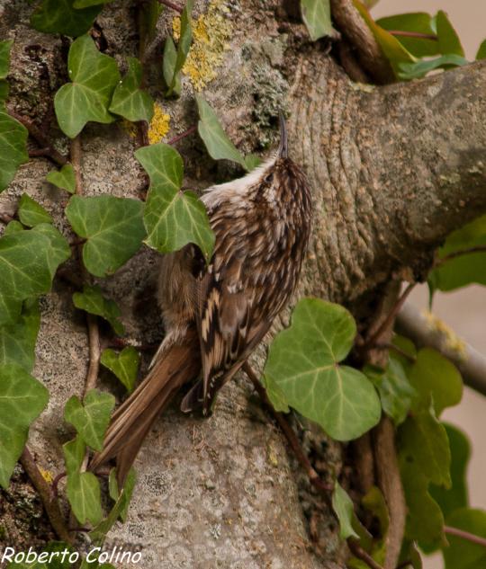 aves, certhia brachydactyla, agateador común, short toed treecreeper, birds, birding, birdwatching, areitz soroa