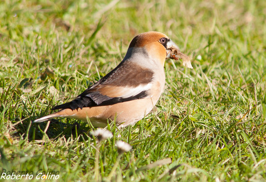 aves, birds, birding, birdwatching, picogordo, coccothraustes coccothraustes, hawfinch