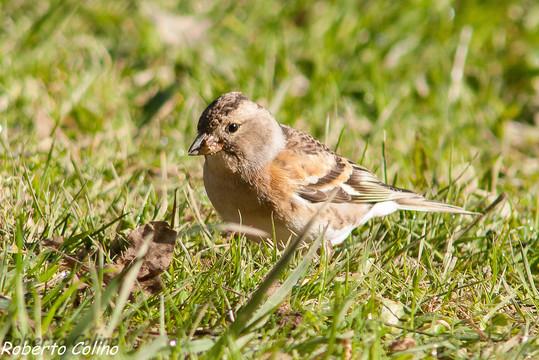 aves, birds, birding, birdwatching, pinzón real, fringilla montifringilla, brambling