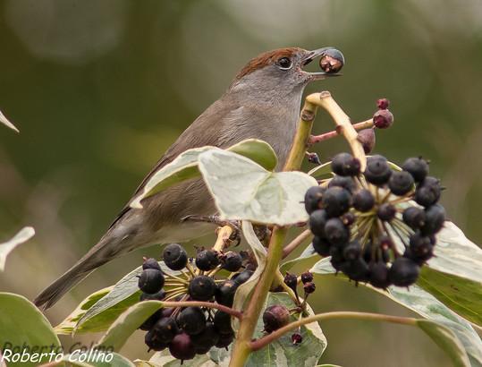 curruca capirotada, Sylvia atricapilla, hiedra canaria, Hedera canariensis, blackcap, birds, birding, birdwatcher, aves, areitz soroa, Galdames