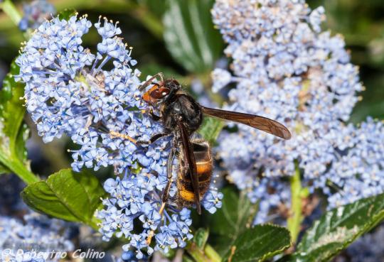 vespa vetulina, avispa asiática, ceonothus, flora auxiliar, método babesten, agricultura ecológica