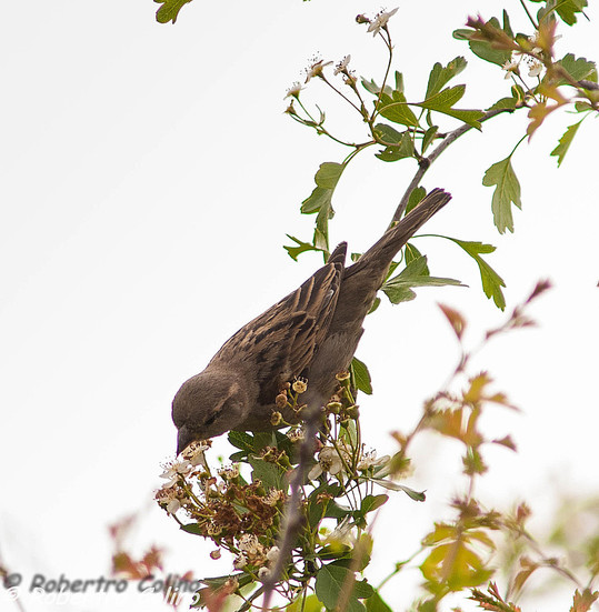 gorrión común, passer domesticus, crataegus monogyna, espino blanco, aves, birds, birding, birdwatching, house sparrow