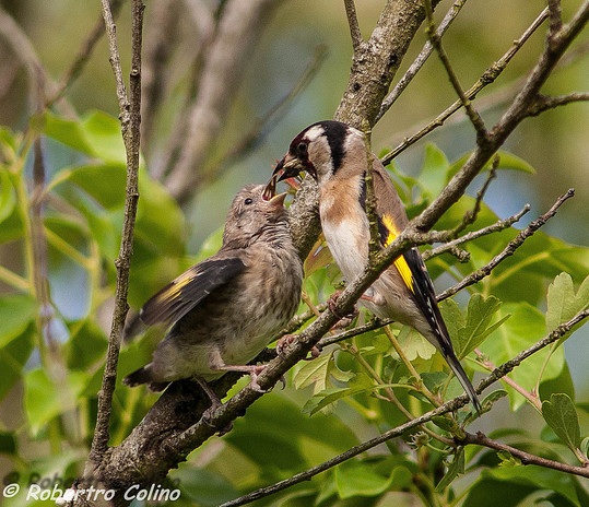 carduelis carduelis, jilguero, goldfinch, birds, birding, birdwatching, aves