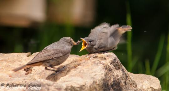 aves, birds, birding, birdwatcher, Phoenicurus ochruros, black redstar, colirrojo tizózn