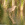 Avetorillo ( Ixobrychus minutus )