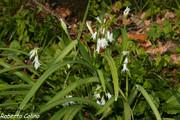Ajete (Allium triquetrum)