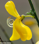 Escobon (Cytisus scoparius)