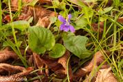 Violeta silvestre (Viola sp.)
