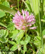 Trébol rojo (Trifolium pratense)