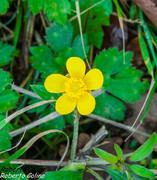 Botón de oro (Ranunculus repens)