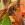 vespa crabro, kaki, avispón europeo, fruticultura ecológica
