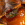 lucilia caesar, kaki, mosca verde, fruticultura ecológica