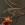 curruca capirotada, sylvia atricapilla, birding, birwatching, fruticultura ecológica, kaki, diospyros kaki