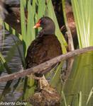 , birds, birding, birdwatching, Salburua, aves, Polla de agua (Gallinula chloropus)