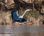 Garza real (Ardea cinerea), birds, birding, birdwatching, Salburua, aves
