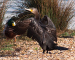 Cormorán grande (Phalacrocorax carbo), birds, birding, birdwatching, Salburua, aves