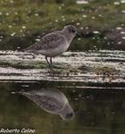 Chorlito gris, Pluvialis squatarola, grey plover, marismas de santoña, aves, birds, birdwatching