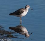 archibebe claro, tringa nebularia, marismas santoña, aves, birds, birding, birdwatching