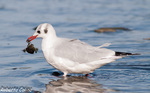 Gaviota reidora (Larus ridibundus), marismas santoña, aves, birds, birding, birdwatching