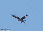 Aguila pescadora (Pandion haliaetus), marismas santoña, aves, birds, birding, birdwatching
