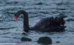 Cisne negro (Cygnus atratus), marismas santoña, aves, birds, birding, birdwatching