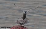 Charrán patinegro (Sterna sandvicensis), marismas santoña, aves, birds, birding, birdwatching